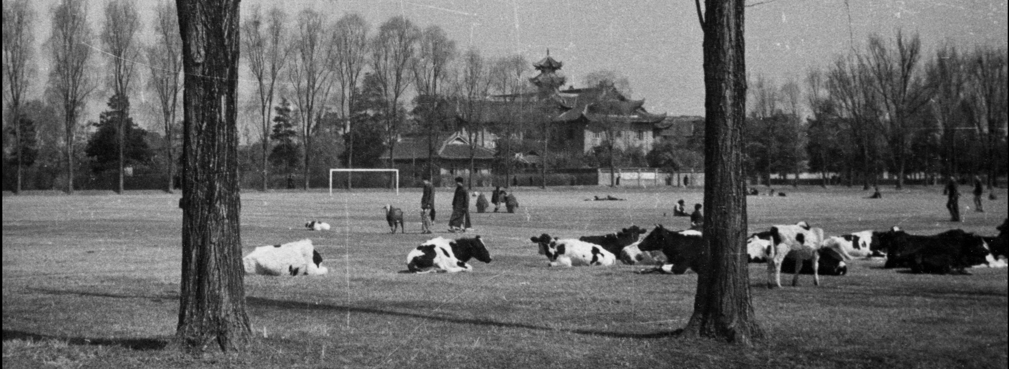 Herd of dairy cattle on campus, football goal posts in middle distance, Hart college in distance